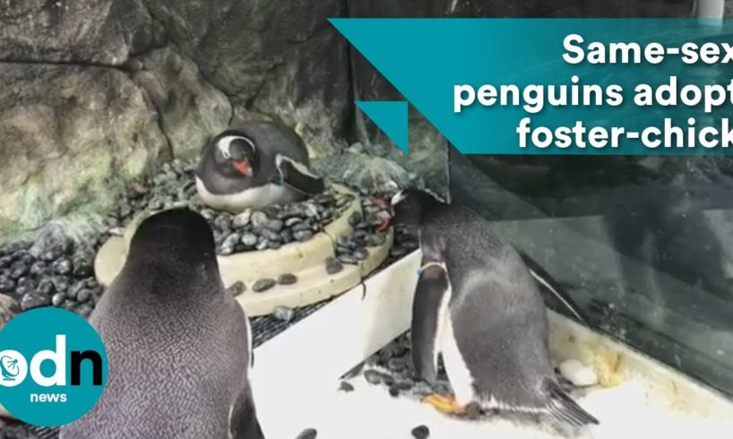 Same-sex penguins adopt adorable foster-chick