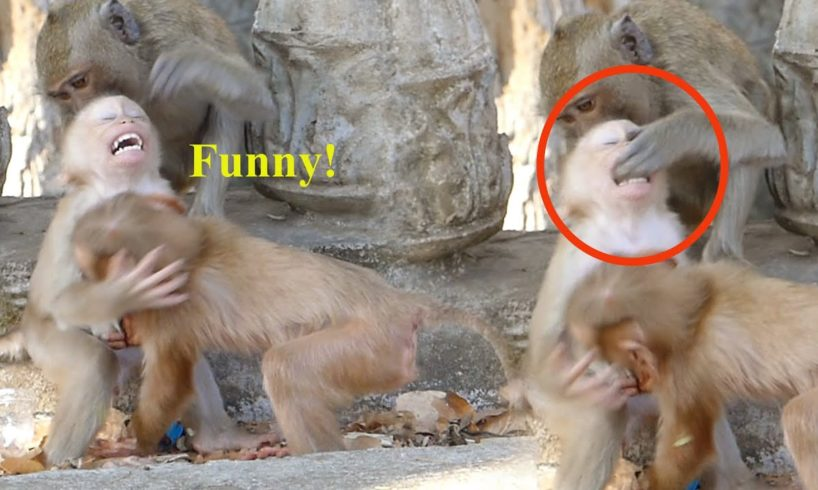 So funny! Rocky bit a young monkey's finger while they were playing together- Part 460
