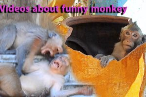 Videos about funny monkey teams playing together are fun to watch