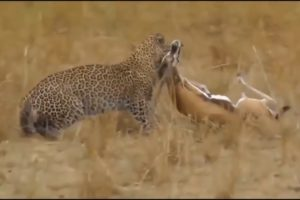 Wild Animals Documentary 2019 Fights Caught On Camera Fight Powerful Lion vs Crocodil