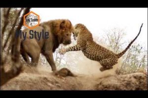 Animal Fight Club Season 2 Episode 4: Lion Vs African Leopard