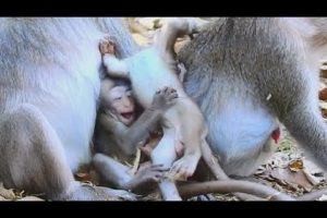 Babies Monkey Playing Happily | Baby JANNA & Friends Funniest , #315