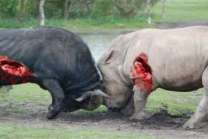 Biggest wild animal fights - Lion vs Rhino - CRAZIEST Animals Attack Caught On Camera – Prin