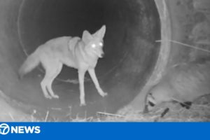 Coyote, badger hunt and play together -- furry friends!