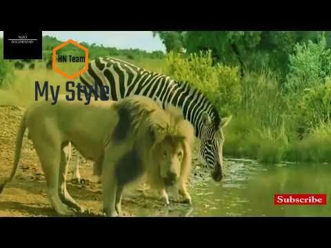Craziest Animal Fights-Brutal Wild Animal Fights-Lion VS Zebra Fight