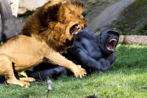 Craziest Animals Fights   Classic fight Lion , gorilla attack   Lion, Gorilla, Baboon Big Battle