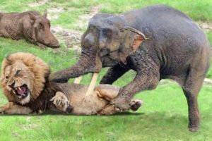 Elephant, Buffalo Save Warthog From Lion Hunting - Elephant Vs Lion - Buffalo Vs Lion - Animal Fight