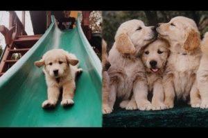 Funny and Cute Golden Retriever Puppies Compilation #2 - Cutest Golden Retriever