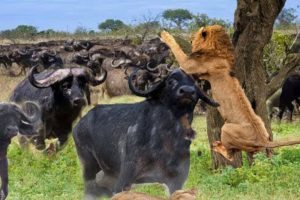 Lion Attack Buffalo - Buffalo Save Fellow From Lion Pride Hunting - Animals Fight