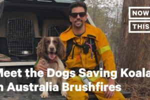 Meet the Dogs Saving Koalas in Australia Brushfires | NowThis