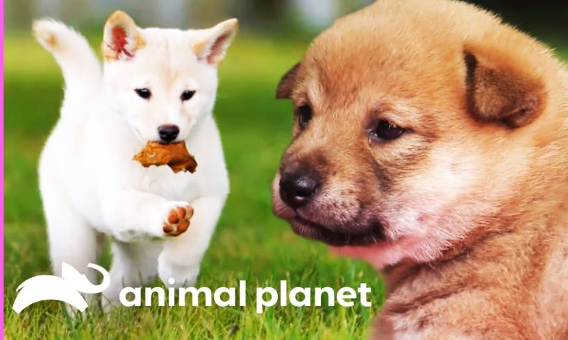 Mischievous Shiba Inu Pup Gets Her Sisters In On The Fun! | Too Cute!
