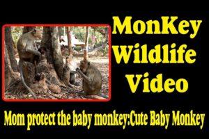 Mom protect the baby monkey - Cute Baby Monkey    Monkey Wildlife Video