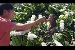 Monkey Doo Plays In Coffee Garden With Beautiful White Blooming Flowers