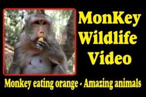 Monkey eating orange -  Amazing animals   Monkey Wildlife Video