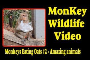 Monkeys Eating Oats #2 -  Amazing animals   Monkey Wildlife Video