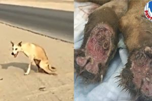 Rescue A Desert Disabled Dog Are Shot In The Spine to His Forever Home