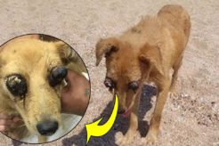 Rescue Homeless Dog Was Punctured Two Eyes & Amazing Training