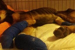 Rescue Poor Abandoned Dog Cut Off Both Legs Crying in Pains for Death