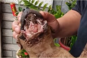 Rescue of Starving Injured Puppy Who Suffered a Terrible Mouth Injury - Amazing Transformation