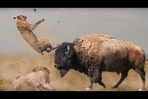 Top EXTREME CRAZIEST Animal Fights Amazing Bull Battle VERSUS Buffalo Attacks Caught On Camera