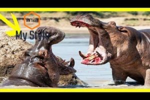 Turf War Lions and Hippos-National Geographic Wild Animals Fights Documentary