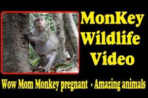 Wow Mom Monkey pregnant     Amazing animals   Monkey Wildlife Video