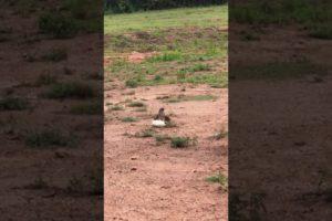 Animal fights , Chicken vs Chicken Hawk , when animals attack