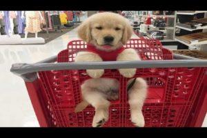 Best Of Cute Labrador Puppies - Funny Puppy Videos 2019