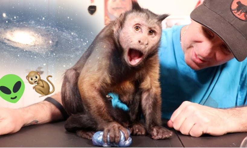 Capuchin Monkey Fascinated by Galaxy Slime!