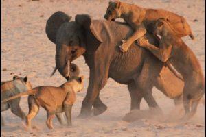 Crazy Animal Fights - Lions vs Elephants || تقاتل مذهل بين الحيوانات البرية - الأسود ضد الفيلة