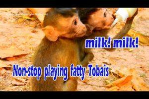 Cries! Cries! Fatty Tobais doesn't let Alba get milk easily! Non stop playing fatty monkey!