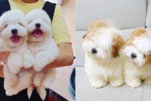 Cutest Coton De Tulear Puppies Videos Compilation