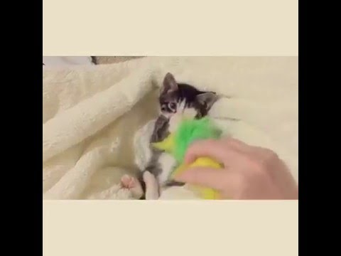 Cutest kitten ever wants his toy back