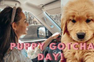 Golden Retriever Puppy Gotcha Day   Cutest Puppy Ever   Lauren Stewart