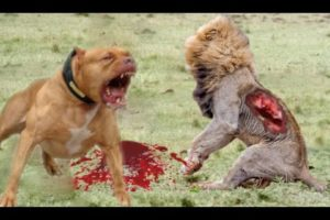 Lion vs Pitbull Real fight   Dog vs monkey   Dog vs boars   Crazy Animal Attack Compilation HD