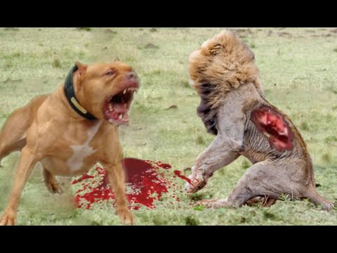Lion vs Pitbull Real fight   Dog vs monkey   Dog vs boars   Crazy Animal Attack Compilation HD