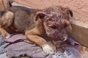 Little puppy's face doubled in size from infection, rescued.