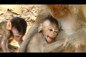 Mom Weaning Baby Monkey Bevin | Baby Spoil Crying Request Milk Mother | Newborn Babies Monkey