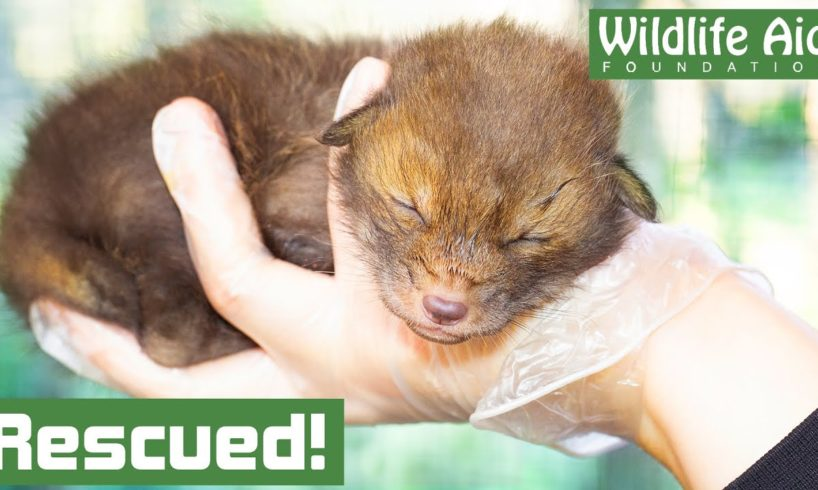 Orphaned baby FOX rescued after mothers tragic death