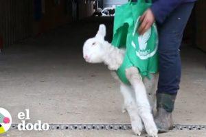 Oveja bebé necesita ayuda para estar de pie | El Dodo