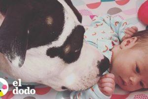 Perrita se convierte en la mejor niñera | El Dodo