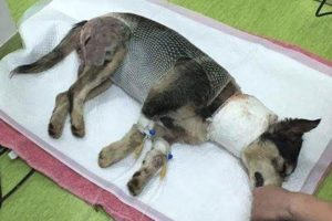Poor Puppy Was Attacked By Big Dog Because So Hungry Find Foods | Heartbreaking Story