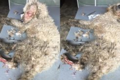 Rescue Homeless Dogs with Necrotic Wounds and Lots of Maggots Amazing Recovery