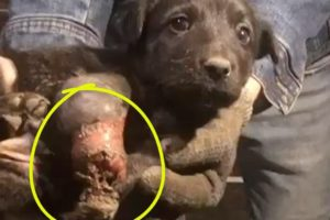 Rescue Homeless Puppy With a Completely Rotten Leg