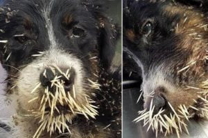Rescue Poor Dog Was Attacked by Porcupine - Quills Removal