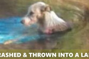 Rescue Poor Dog Was Thrown Into a Lake After Being Crashed By Car
