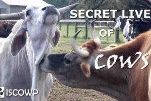 The Secret Lives of Cows that Most People Never See
