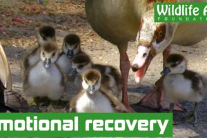 When it all goes wrong - Amazing goose rescue
