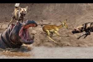 Wild Dogs Attack Antelope - Hippo saved antelope - Animals Fights