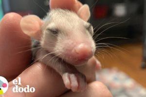 Zarigüeyas bebés son rescatadas y las ayudan a crecer | El Dodo